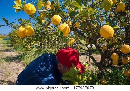 Lemons on tree and a picker during harvest time