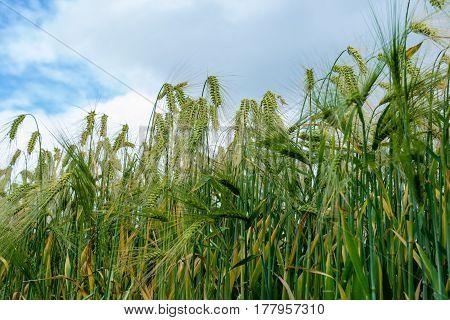 Long Eared Corn Grain Wheat Growing In A Field