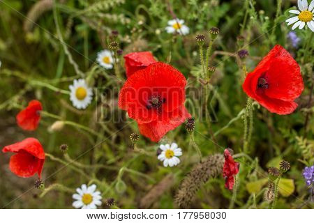 Close Up Of Wild Poppies