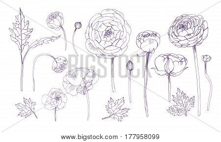 Hand drawn outline floral elements set, Collection with ranunculus flowers.
