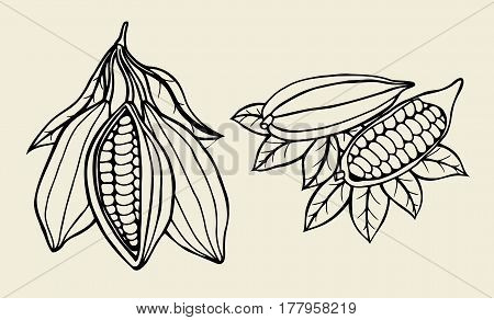Set Cocoa beans illustration. Engraved style illustration. Chocolate cocoa beans. Vector illustration