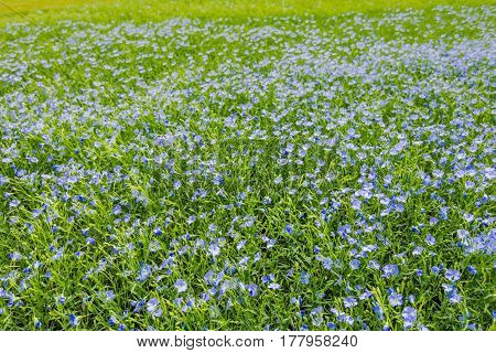 A Sown Field Of Growing Small Purple Flowers