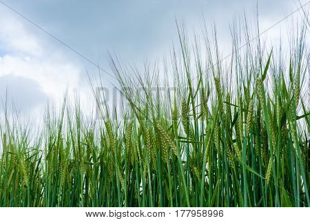 Close Up Of Young Corn Growing In A Field.