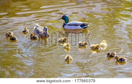 Ducklings. Family of wild ducks swims in a pond. Mother and father duck with ducklings swimming on lake surface.Ducklings with mom and dad. Ducks in a pond. Duck with brood of ducklings swim on pond.