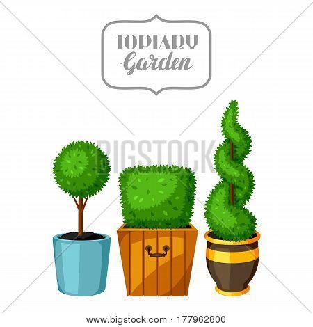 Boxwood topiary garden plants. Decorative trees in flowerpots.