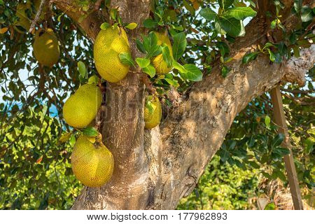 Many wild large Jack Fruits growing from a tree.
