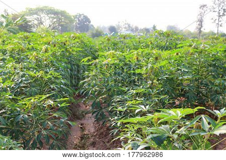 Cassava has many green leaves in thailand
