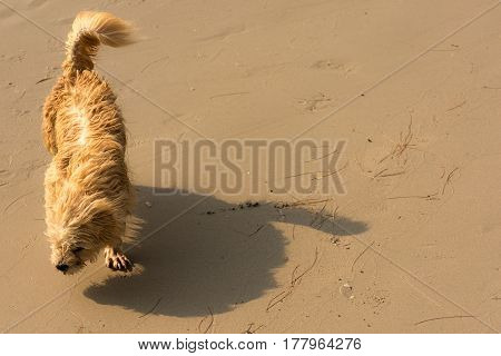 A small hairy dog struggling to walk along a wind swept beach.
