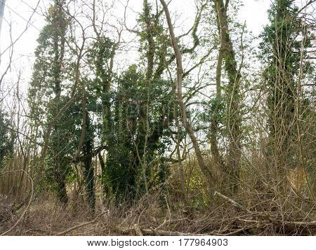Some tall trees in the wooded area of the Wivenhoe lakes.