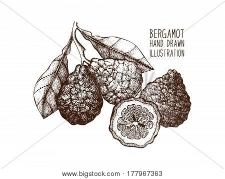 Vector illustration of highly detailed citrus fruits on white background