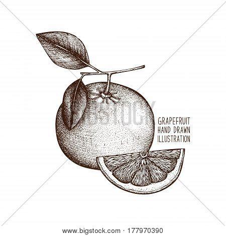 Ink hand drawn grapefruit fruit. illustration. Citrus sketch