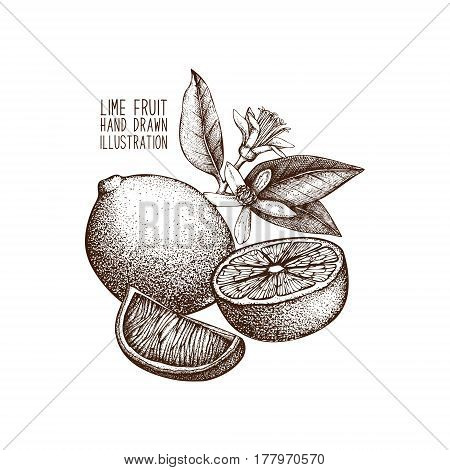 Ink hand drawn lime isolated on white background. Vector illustration of highly detailed citrus fruits