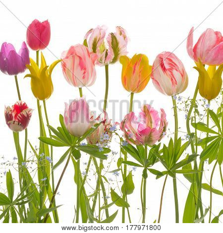 Bright beautiful motley flowers of tender spring tulips forget-me-nots and leaves of lupines various varieties and flowers on an isolated white square background