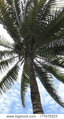 A palm tree viewed from below against a blue sky with white clouds in Puerto Lopez, Manabi, Ecuador.