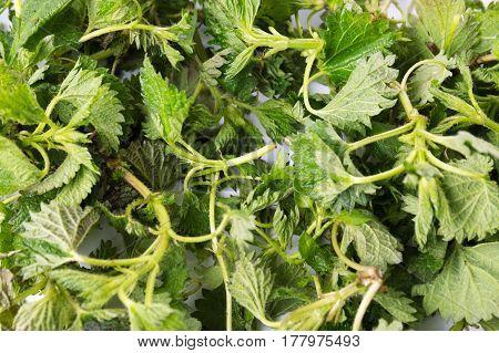 Stinging Nettle Green Leaves Background