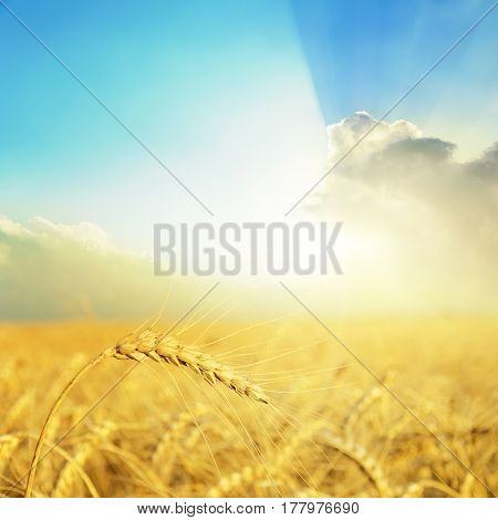 golden crop on field and good sunset in clouds over it