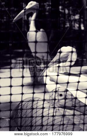 Pelican in captivity. Large birds in zoo behind bars. Emotional portrait of animal. Toned black and white photo