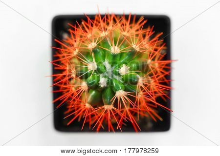 Isolated peyote in vase white background beauty