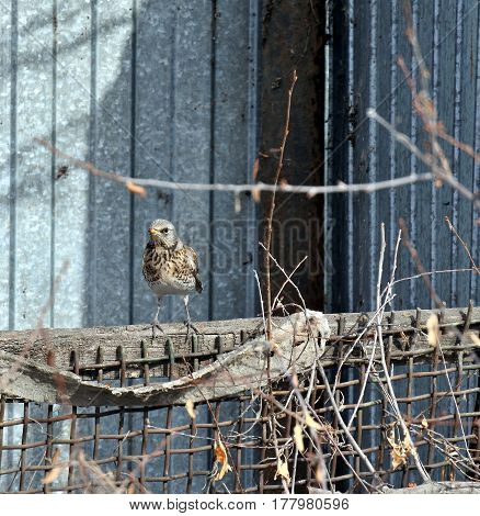 Fieldfare on the fence. the Latin name of this bird - Turdus pilaris. It is not visible among the branches. Protective coloration helps him.