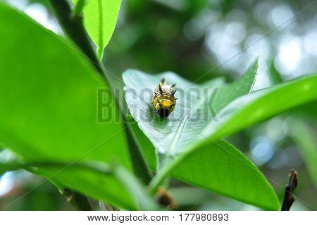 Grub caterpillar insect on a mandarin tree leaf in garden yellow and black