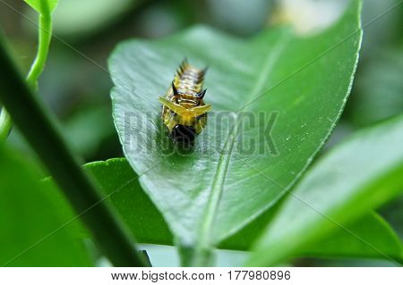 Grub caterpillar insect on a mandarin tree leaf in garden yellow and black poster
