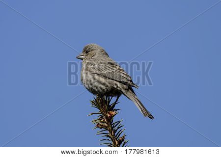 A female House Finch (Haemorhous mexicanus) a songbird, perched atop a branch of a spruce tree, against a blue sky, in Carroll County Maryland, USA.