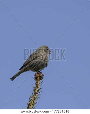 A female House Finch (Haemorhous mexicanus), also known as a Rose Finch, a songbird,, shown in right profile in Carroll County Maryland, USA.