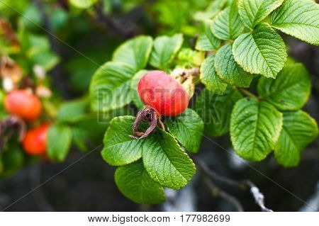Wild Briar Plant Fruit With Vibrant Red Color And Many Vitamin C In Wild Field In Poland