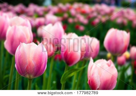 Pink tulips with depth of field effect