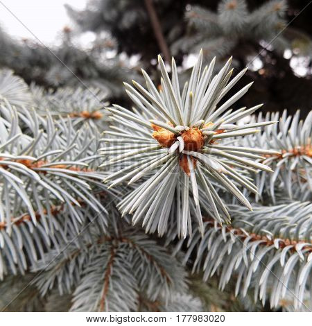 Blue spruce and cones and needles of spruce