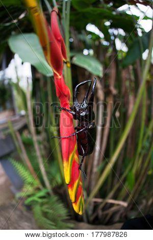 Male Rhinoceros beetle Rhino beetle walking on branch of red flower.