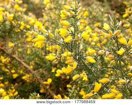 Some love gorse plant growing wild in the spring time