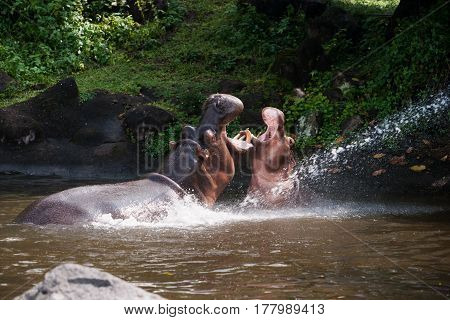 Two hippos fighting playing with mouth wide open in the water at daytime to show who is boss.