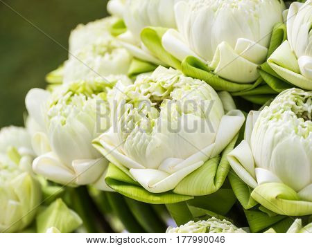 White sacred lotus flowers for worship in Buddhist way