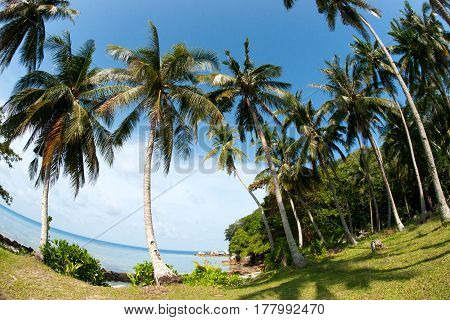 Tall palm trees growing on grass next to the ocean sea coast in the morning with clear blue sky and nobody around Belitung Indonesia.