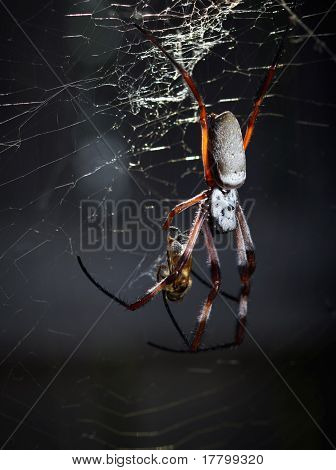 Orb spider in web