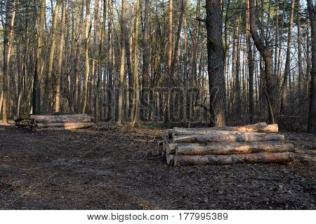 Pile of felled pine logs in the forest