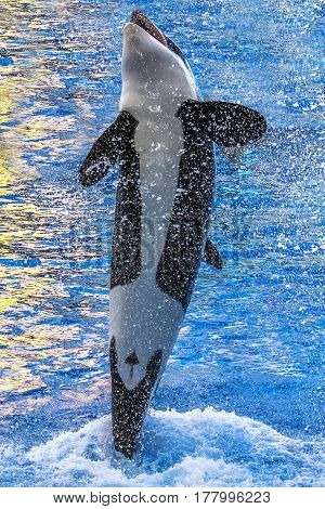 A killer whale, Orcinus Orca, jumping in the water with bubbles.