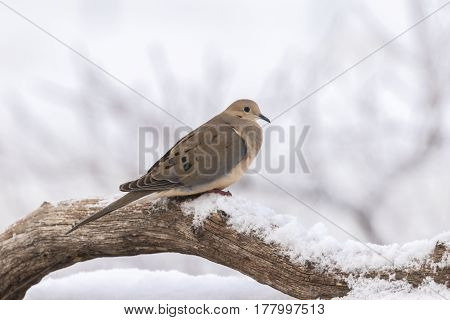 a mourning dove on a log on a snowy day