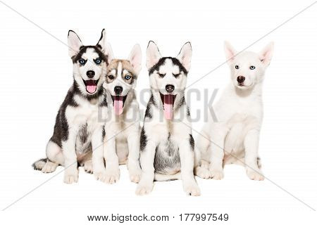 Cute little husky puppy isolated on white background. A group of puppies are sitting and looking at the camera. Four puppies of husky.