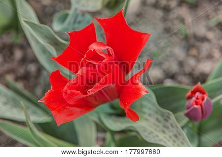 bright red tulip in the spring close up