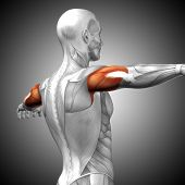 Concept or conceptual 3D illustration triceps human anatomy or anatomical and muscle on gray background poster
