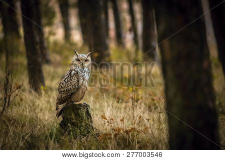 Portrait of brown, white and black colored Eurasian eagle-owl, Bubo bubo sibiricus, with orange eyes sitting on tree stump in a dark forest, dry grass, trees, blurry brown and yellow background poster