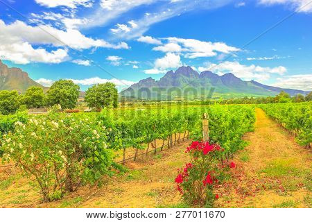 Rows Of Grapes In Picturesque Stellenbosch, Near Cape Town, Wine Region With Thelema Mountain On Bac