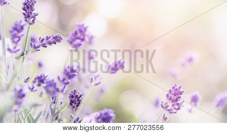 Blossoming Lavender Flowers Background . Lavender Field At Lit By Sunlight. Purple Flowers Of Lavend