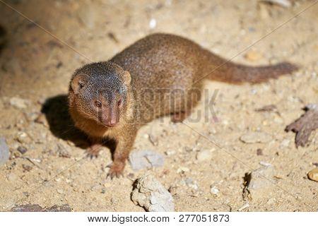Curious Dwarf Mongoose On The Roadside In Uganda