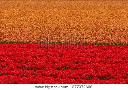 Colourful Floral Scenic Background Of Orange And Red Dutch Tulip Flowers