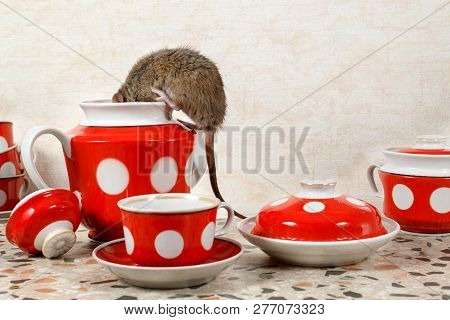 Closeup One Rat (rattus Norvegicus) Climbs Into Teapot Near Red Cups On  Countertop At Kitchen In An