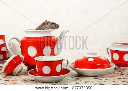 Closeup A Rat (rattus Norvegicus)  Sits And Looks Out From Teapot. Red Tea Set On Countertop At Kitc