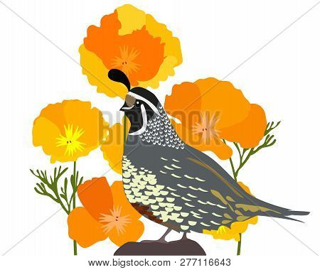Vector Illustration Of California State Quail And Poppies.